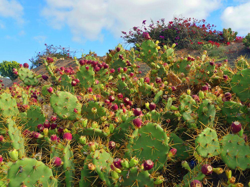 Süße Früchte - dorniger Kaktus