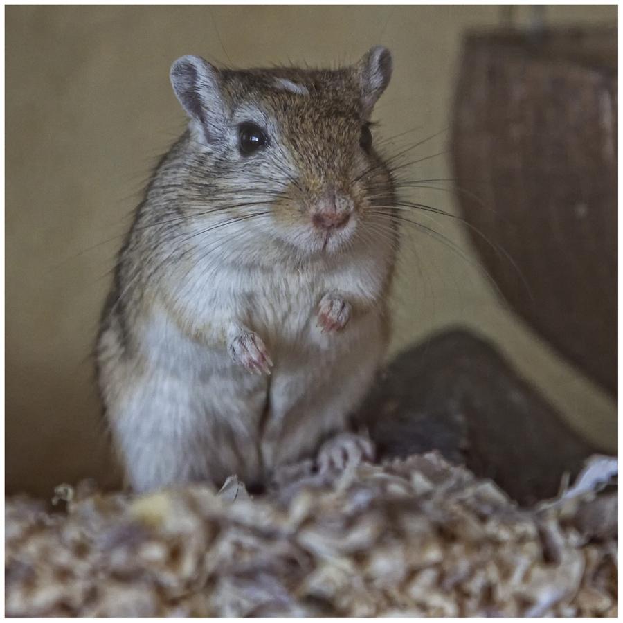 Süße Maus Foto Bild Tiere Haustiere Nagetiere Kaninchen