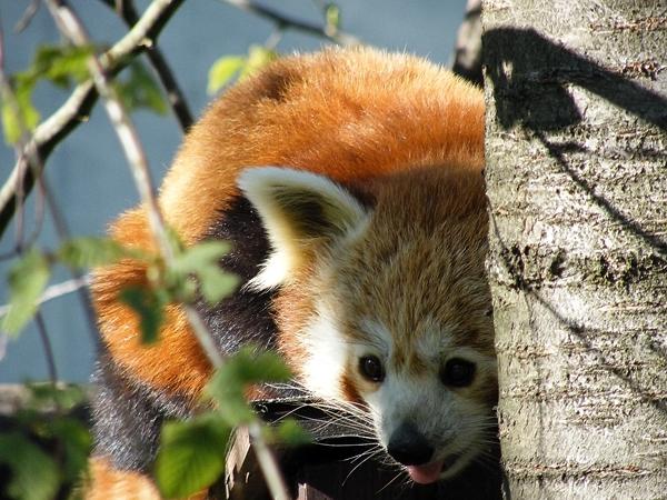 Süsse Panda