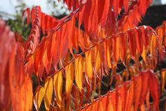 süßes Bild vom Essigbaum