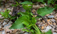 süßes Mäuschen