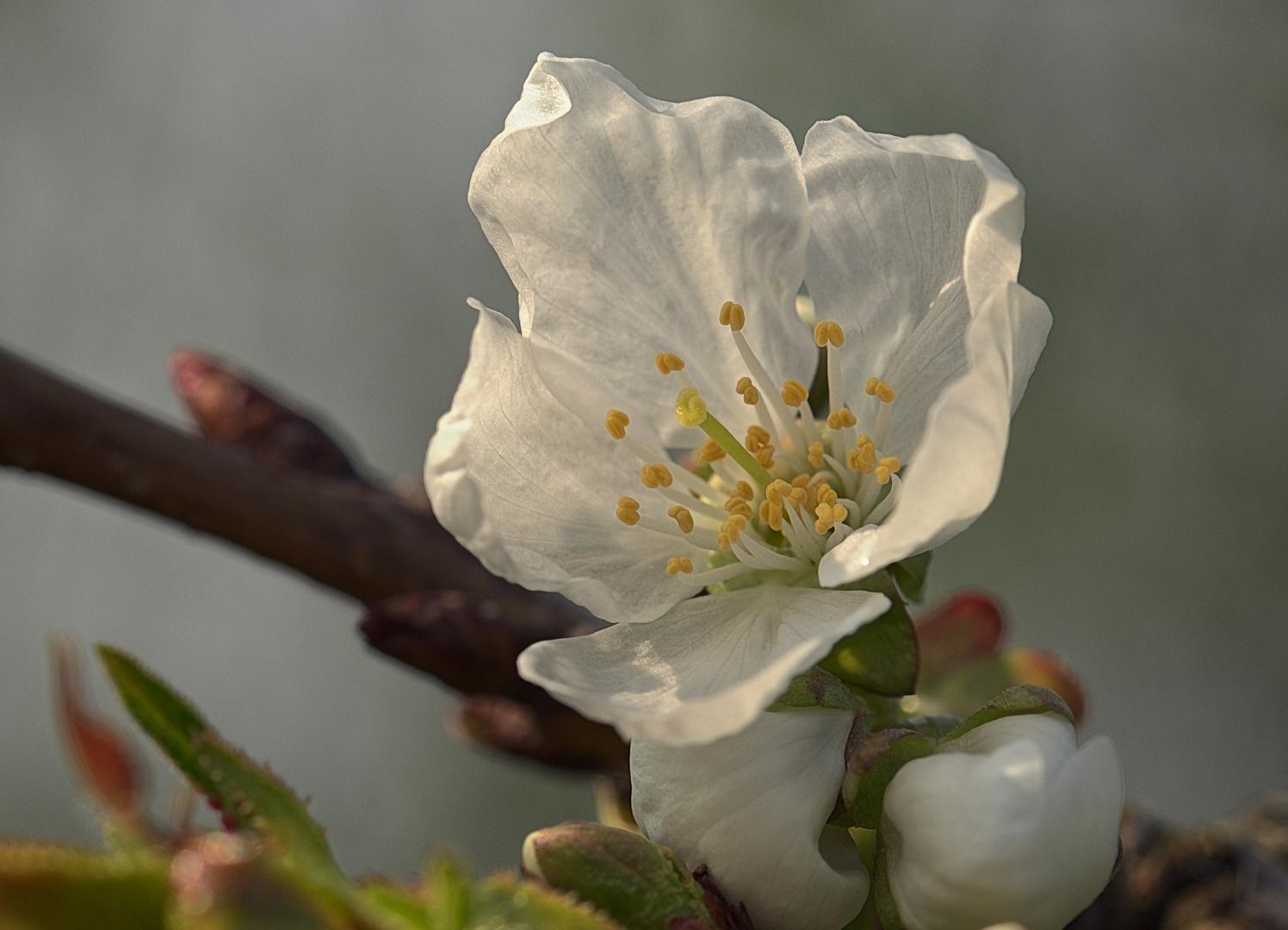 Atemberaubend Süßkirsche Blüte. Foto & Bild | blüme, makro, pflanzen Bilder auf #PE_45