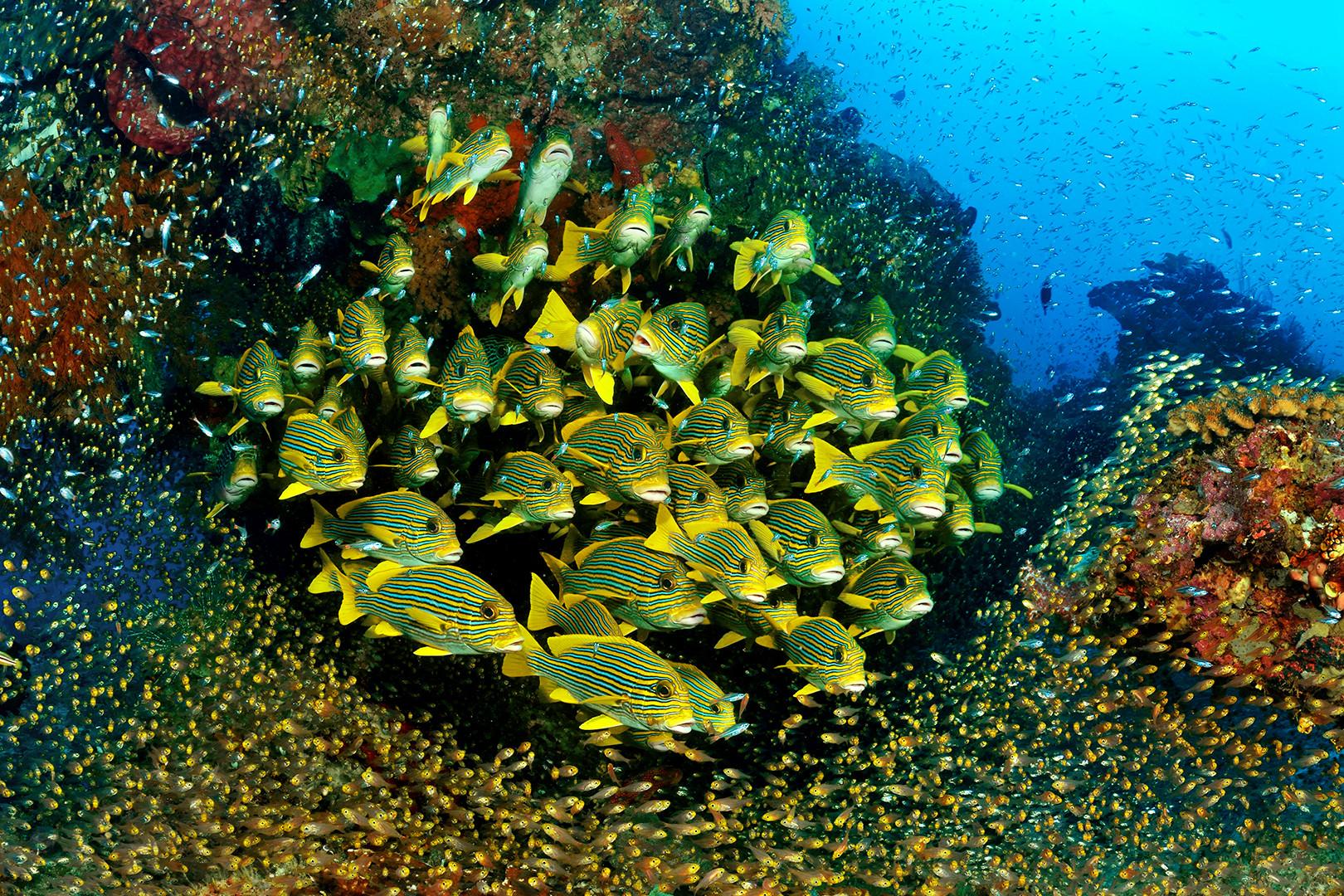 Süßlippen im Glasfischschwarm