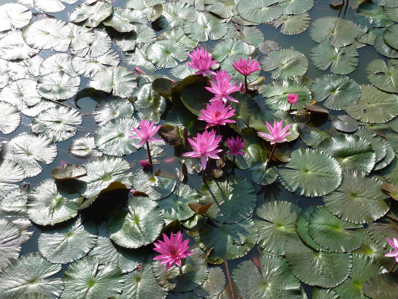Sukhothai, Lotos Flowers