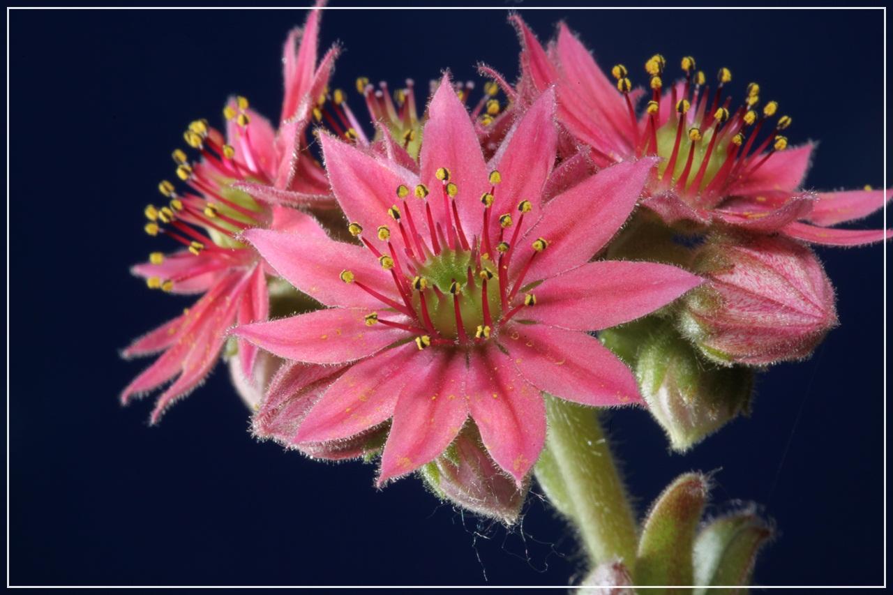sukkulenten foto bild pflanzen pilze flechten bl ten kleinpflanzen gartenpflanzen. Black Bedroom Furniture Sets. Home Design Ideas