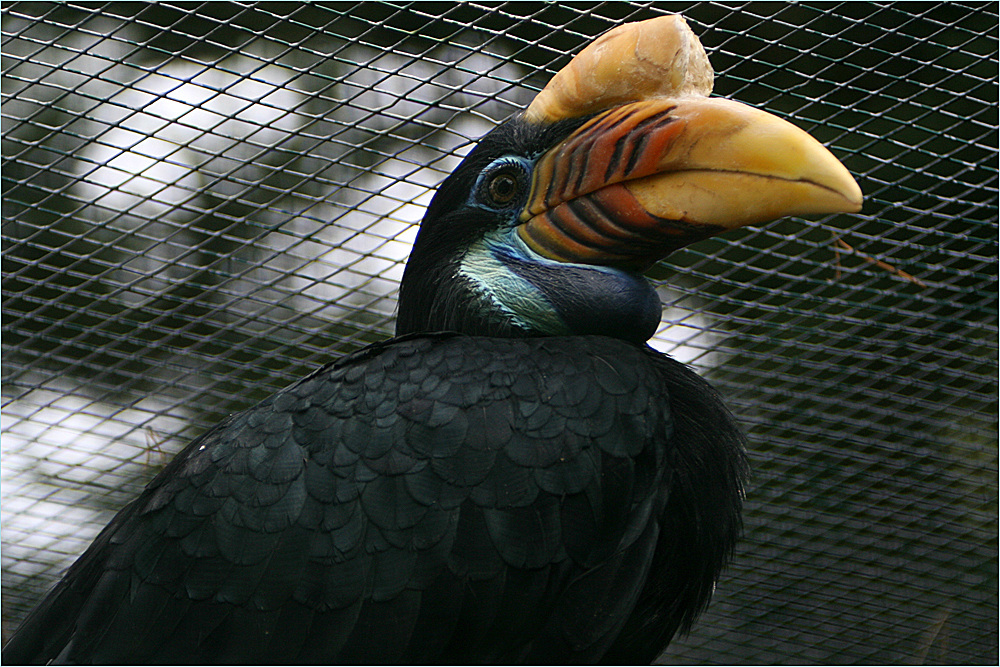 Sulawesi-Hornvogel