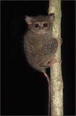 sulawesi koboldmaki / tarsius tarsier