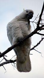 Sulphur-crested Cockatoo 4