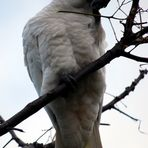 Sulphur-crested Cockatoo 4