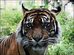 Sumatra Lady
