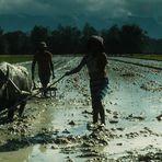 Sumatra - Reisbauern II