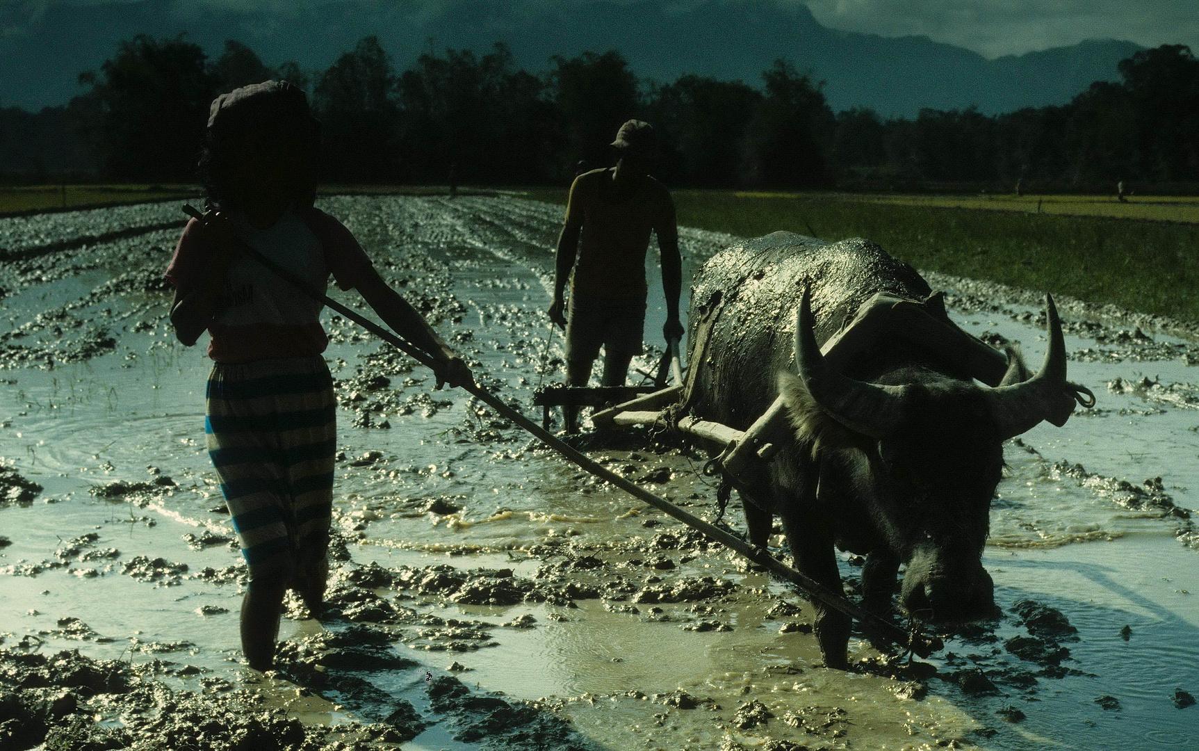 Sumatra - Reisbauern und Wasserbüffel