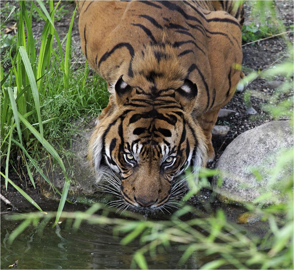SUMATRA-TIGER (2)