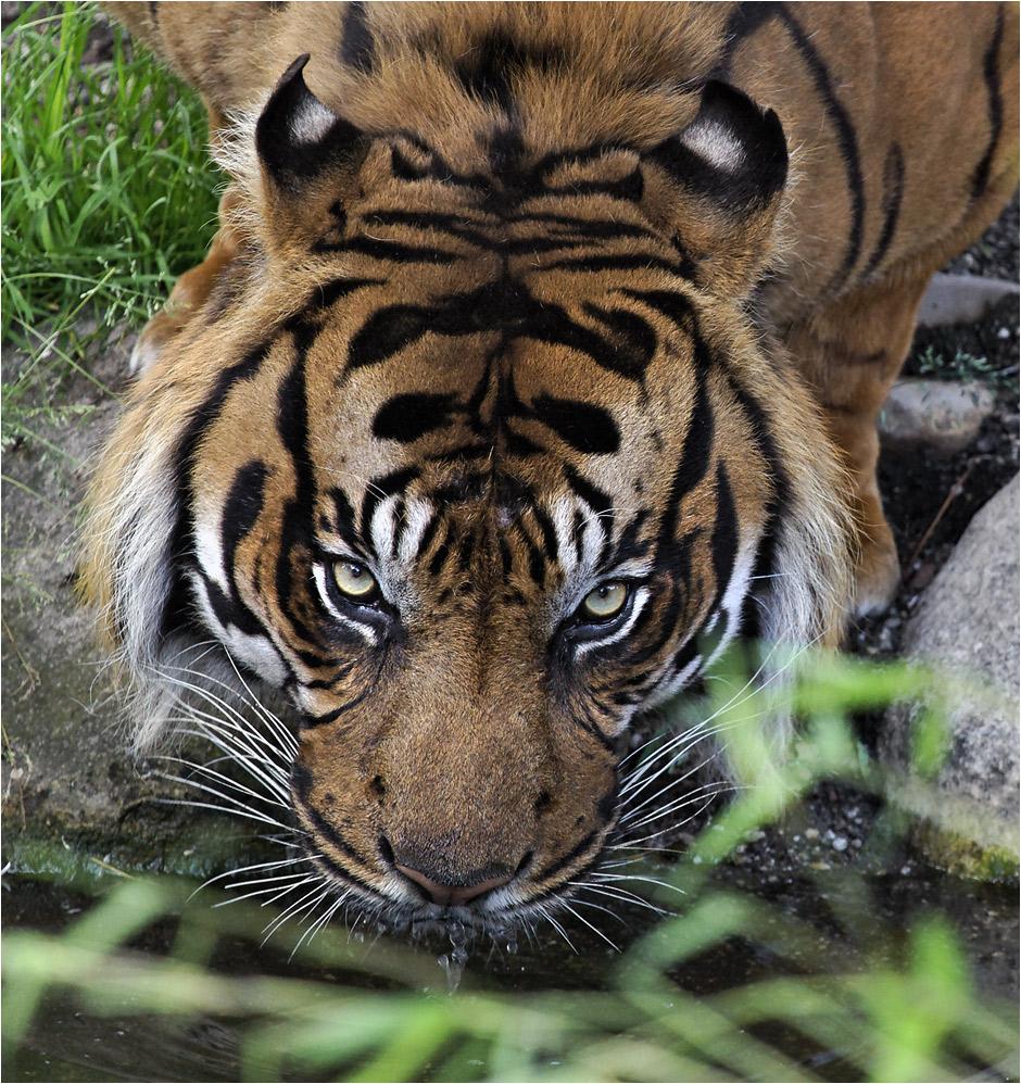 SUMATRA-TIGER (3)