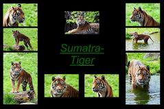 Sumatra-Tiger Collage