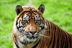 Sumatra-Tiger