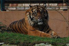 Sumatra-Tiger im Krefelder Zoo