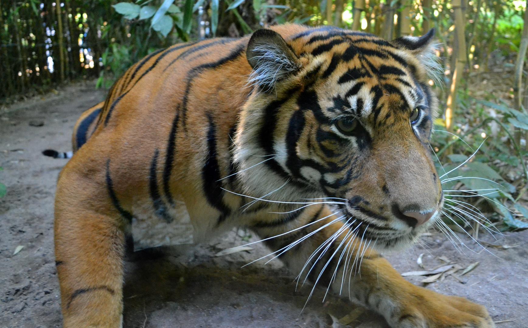 Sumatra-Tiger im Zoo Heidelberg