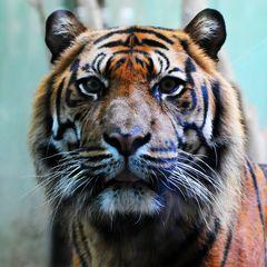 Sumatra Tiger KDL 2744