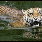 Sumatratiger im Wasser