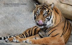 Sumatratiger JAMBI