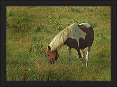 Sumba-Pferd