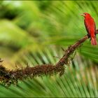 [ Summer Tanager ]