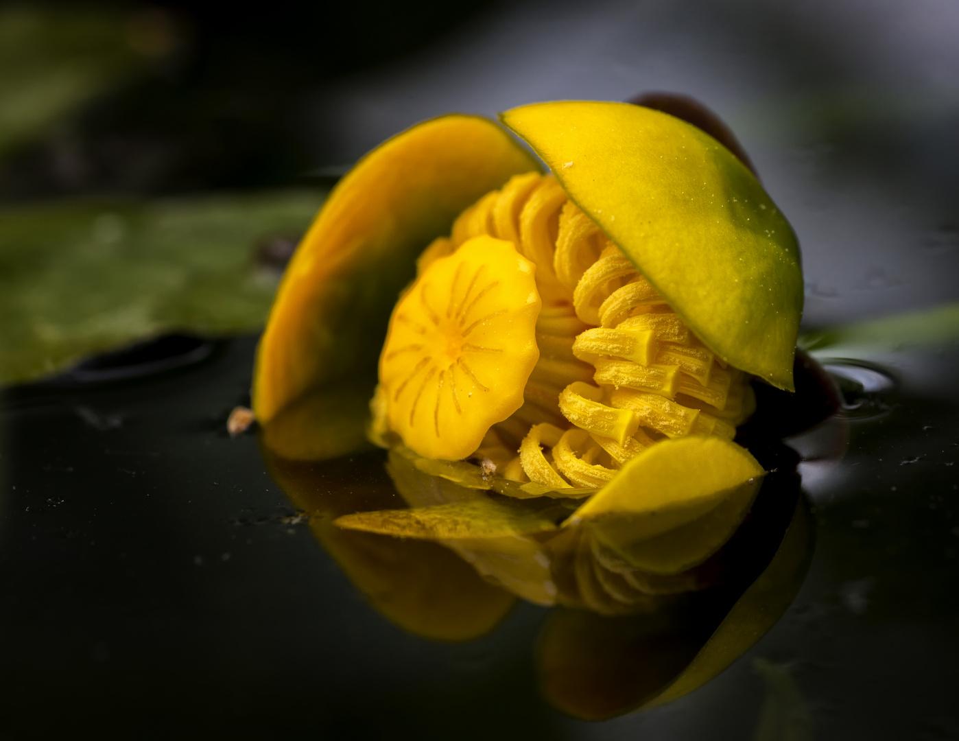 Sumpf Dotterblume