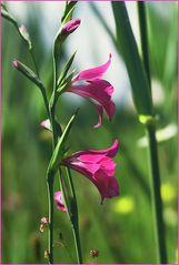 Sumpf - Gladiole