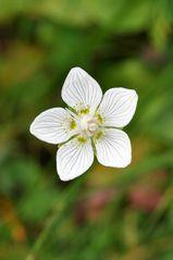 Sumpf-Herzblatt (Parnassia palustris)