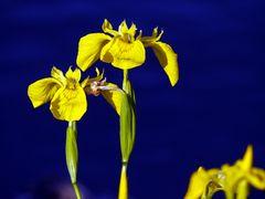 Sumpf-Schwertlilie (Iris pseudacorus) II