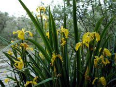 Sumpf-Schwertlilie (Iris pseudacorus) III