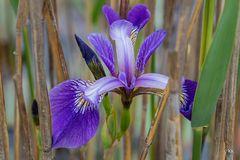 Sumpf-Schwertlilie (Versicolor)