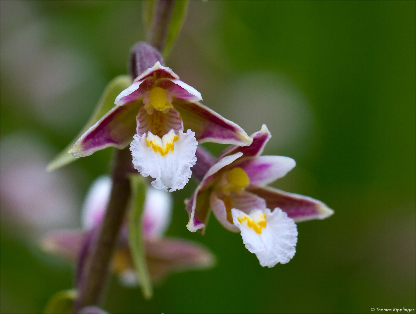 Sumpf-Stendelwurz (Epipactis palustris).