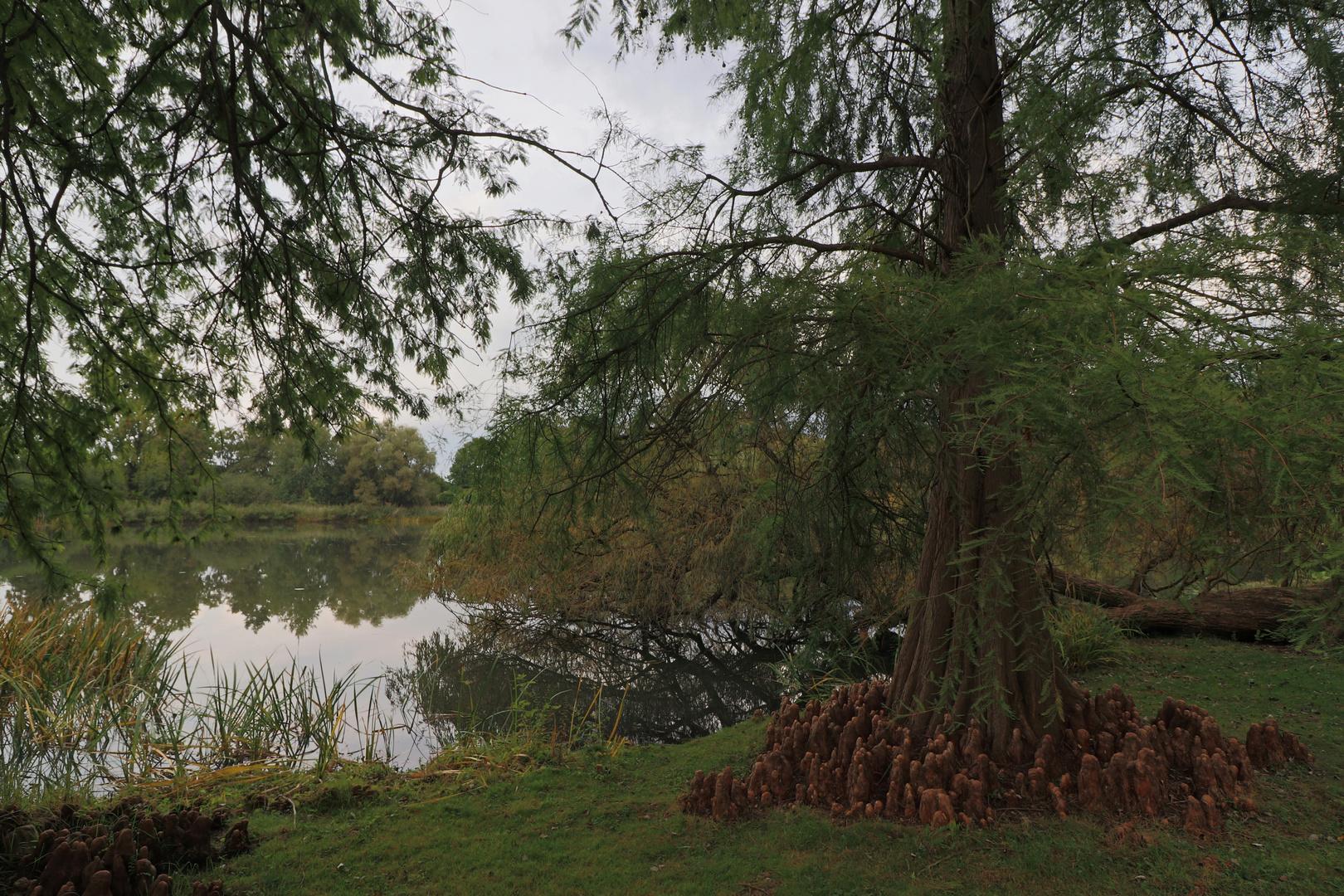 Sumpfeibe am Ufer