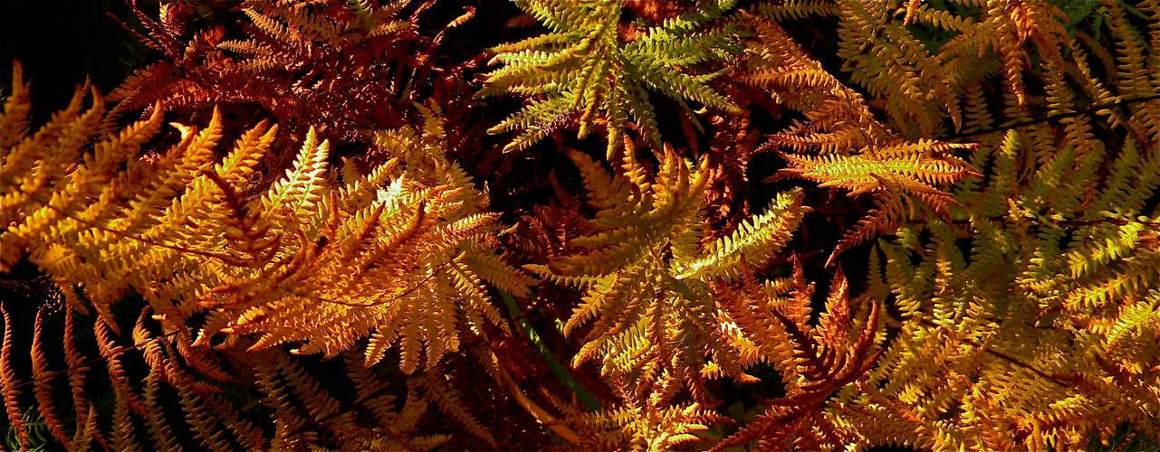 Sumpffarn im Herbst - faszinierende Formen und Farben der Wedel . . .