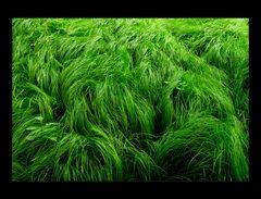 Sumpfgras, schopfig eingestreut... - oder: Hoffen auf das Grün...