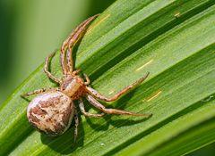 Sumpfkrabbenspinne (Xysticus ulmi). - Crabe araignée.