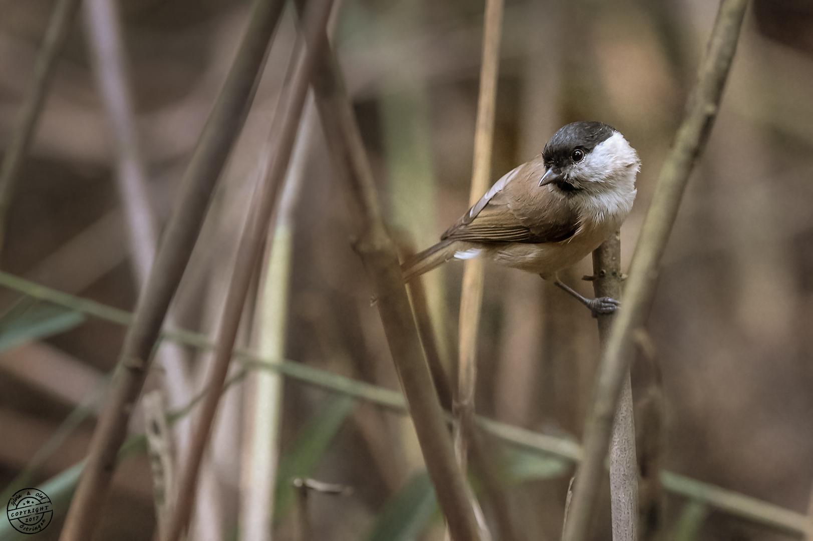 Sumpfmeise auch Nonnenmeise (Poecile palustris)genannt