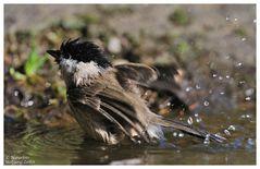 --- Sumpfmeise beim der Morgentoilette --- ( Parus patustris )