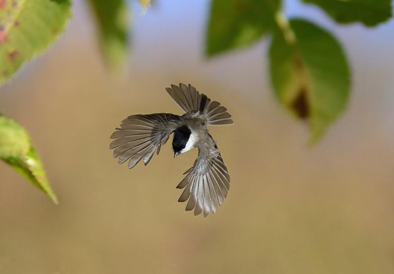 sumpfmeise im flug 7 foto bild tiere wildlife wild. Black Bedroom Furniture Sets. Home Design Ideas