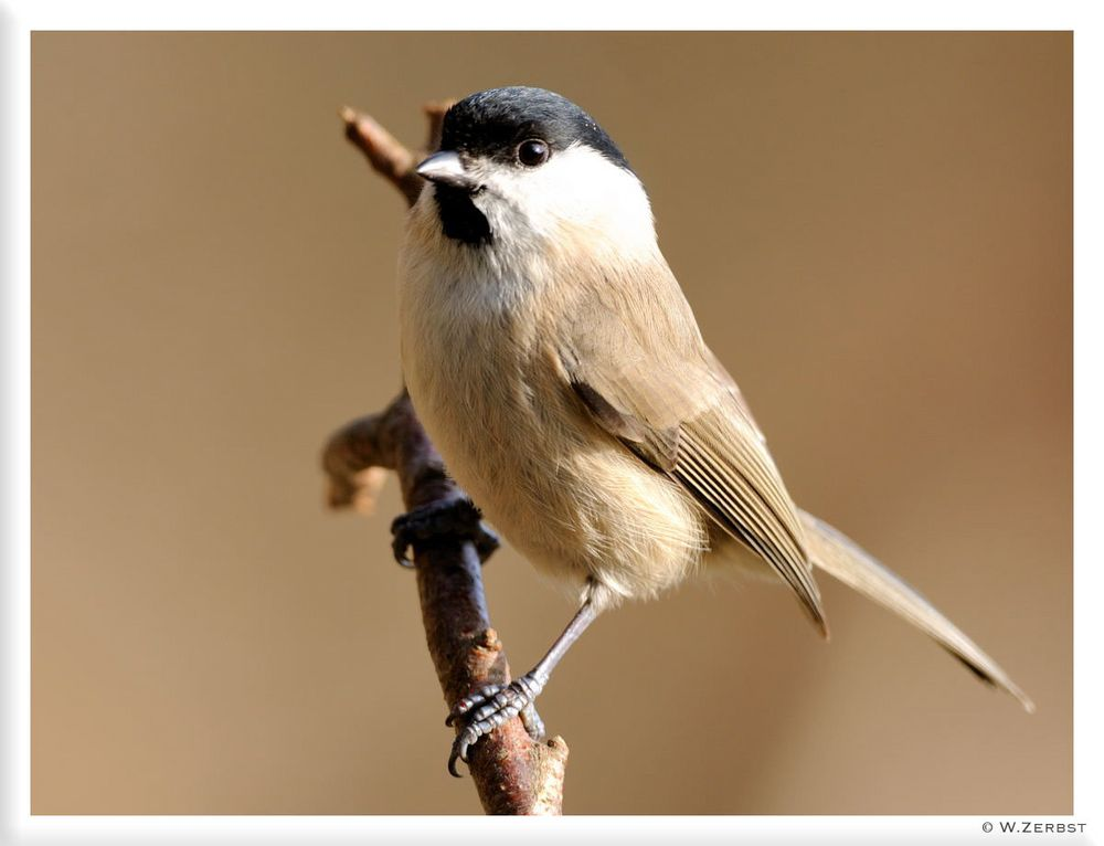 - Sumpfmeise - ( Parus montanus )