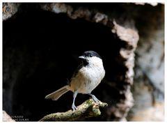 --- Sumpfmeise --- ( Parus montanus )