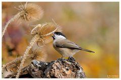 - Sumpfmeise - ( Parus palustris )