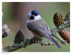 -- Sumpfmeise -- ( Parus palustris )