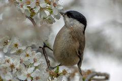 Sumpfmeise schnuppert am Frühling
