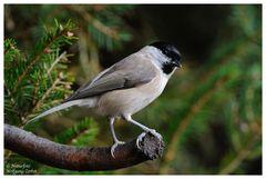 --- Sumpfmeisen --- ( Parus montanus )