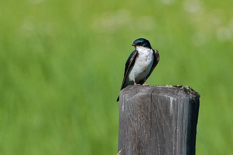 Sumpfschwalbe - Tree Swallow (Tachycineta bicolor)