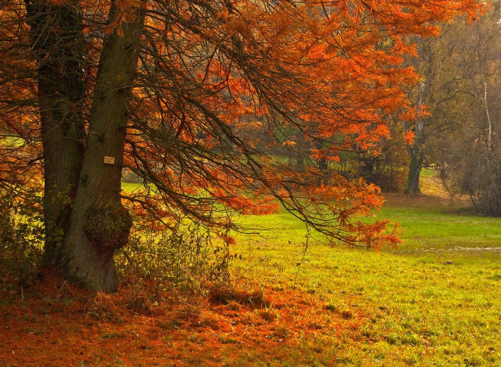 Sumpfzypresse im roten Herbstkleid