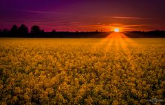 Sun behind the rape field